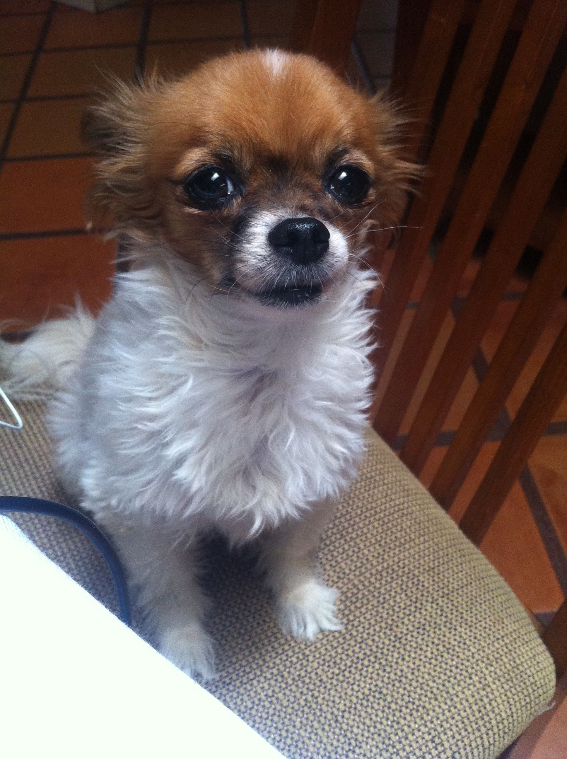 My baby love. Buttons, the papillon/chihuahua mix
