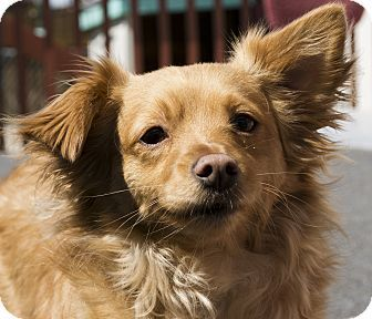 Today S Five O Clock Cuteness Is Dartanian A Young Pomeranian Mix Available For Adoption In Salem Oregon He Is Looking For A Dachshund Mix Pets Dog Adoption