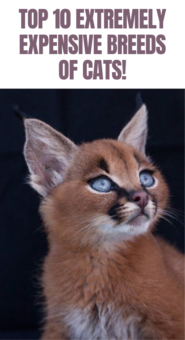 10 Extremely Expensive Breeds Of Cats! in 2020 Cat