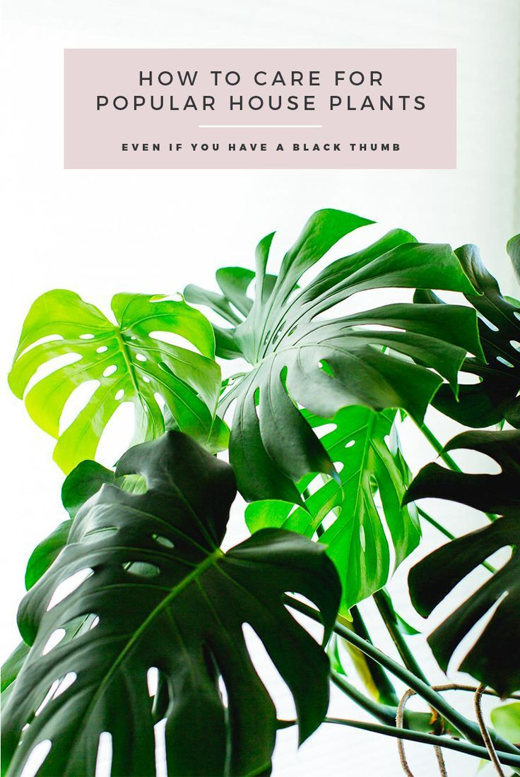 Monstera Deliciosa Pflege Tips & Tricks For Caring For Popular Indoor Plants: From Monstera Deliciosa's And Philodendrons, To Succulents, Jades,… | Plants, Popular House Plants, House Plants
