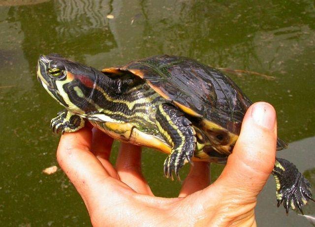 Venafro torrente Rava: rinvenuto esemplare di tartaruga dalle guance rosse
