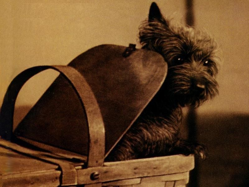"""Famous Dogs: Famous Cairn Terriers - Toto From """"Wizard of Oz"""" 