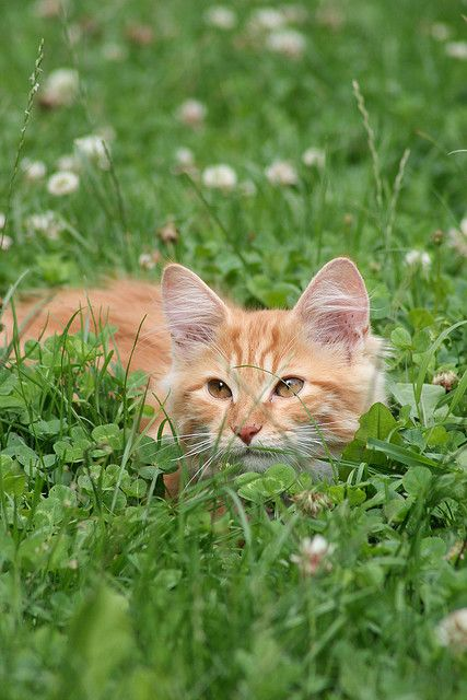 ginger kitten in the clover