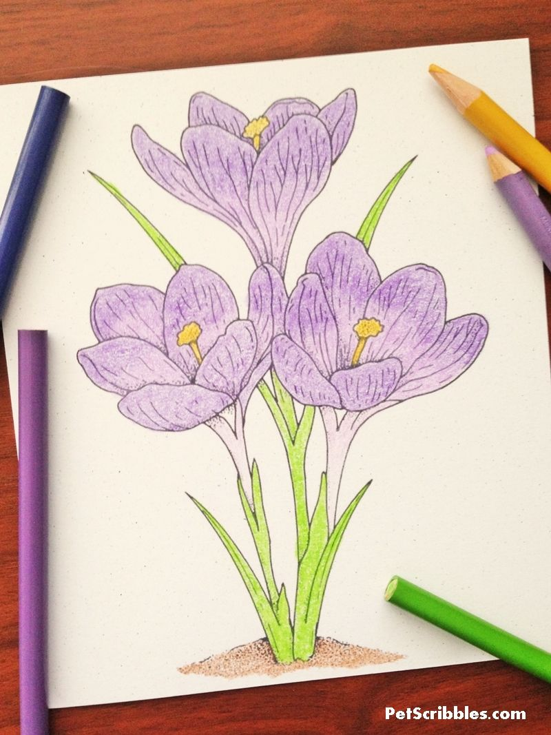 Vintage Crocus Coloring Page For Free Coloring Pages Color