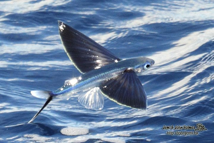 Flying Fish Meaning Google Search Tattoos Pinterest Fish And
