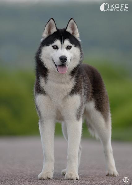 Pin Von Heiko Geschlecht Auf Baby Husky Tier Aktivitaten Sibirische Huskies Hunderassen