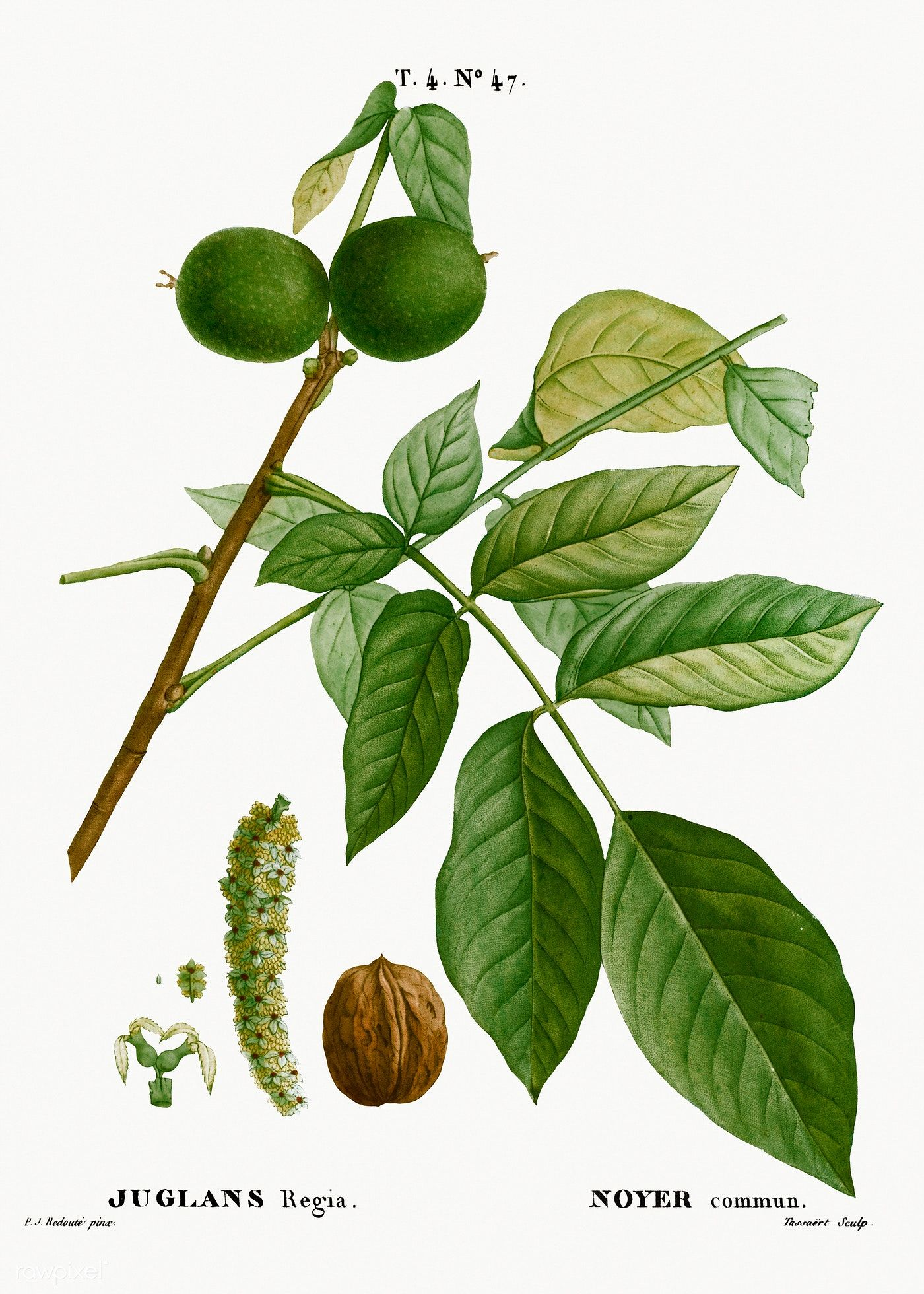 Image result for Juglans regia