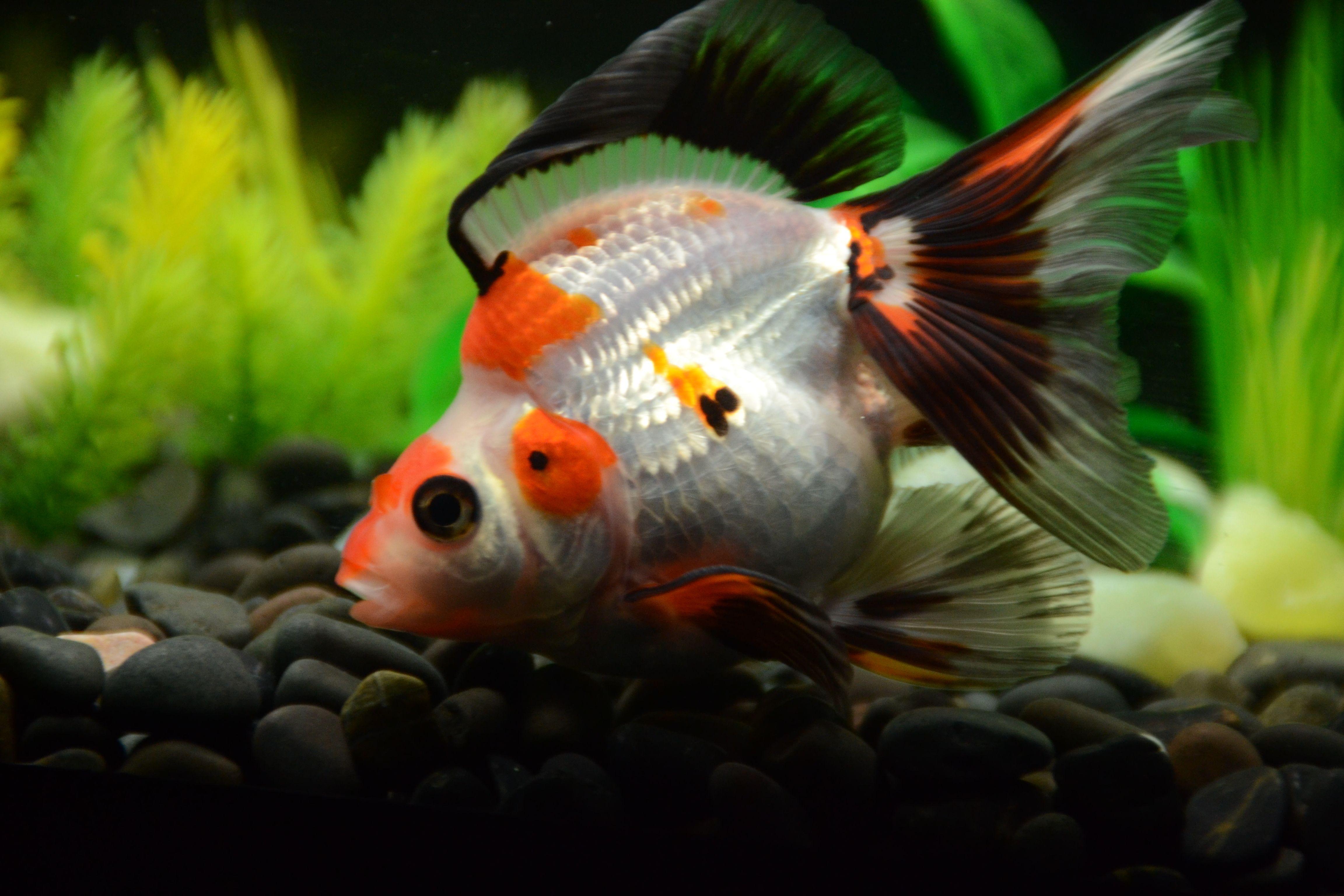 Tri Color Short Tail Ryukin Goldfish Buygoldfishonline Com