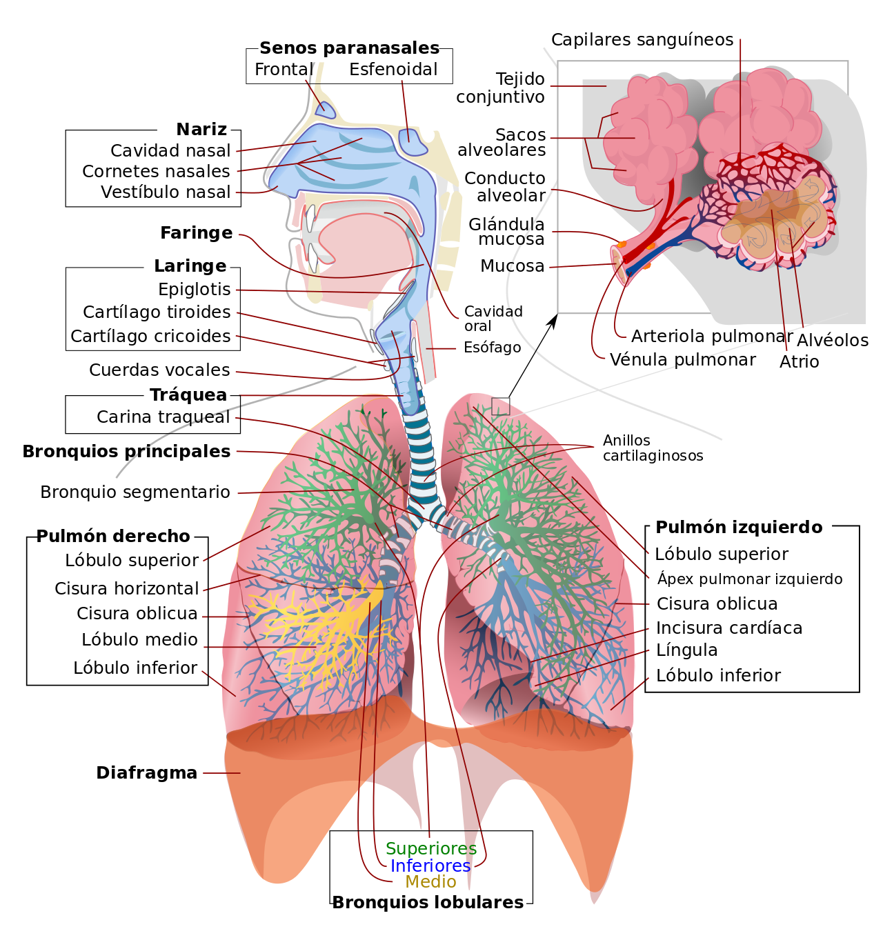 Aparato respiratorio - Wikipedia, la enciclopedia libre | Anatomía ...