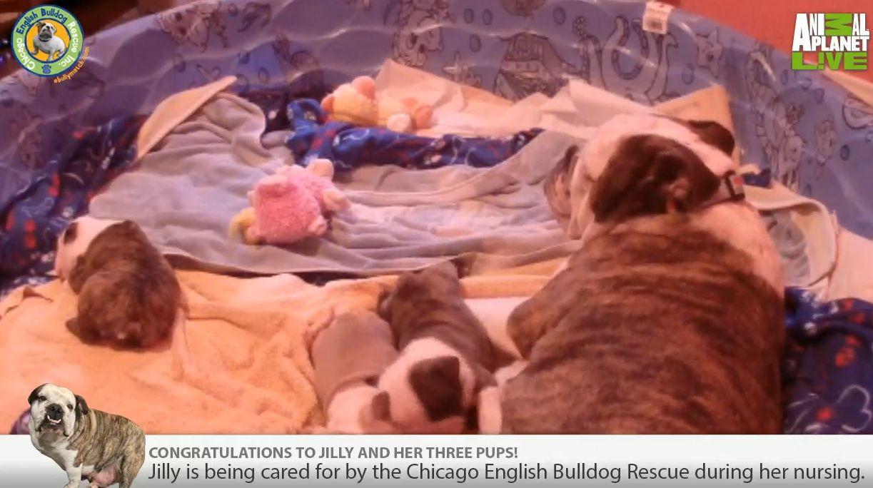 Watch The Cebr English Bulldog Puppy Cam Bulldog Puppies