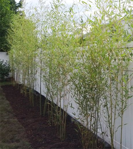 bamboo plants & privacy hedges