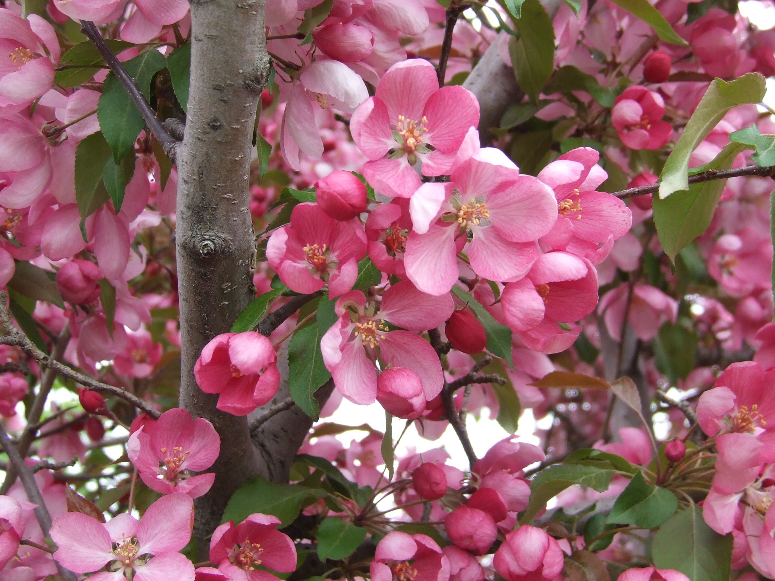 crabapple blooms | blossoms and foliage at pao horticultural