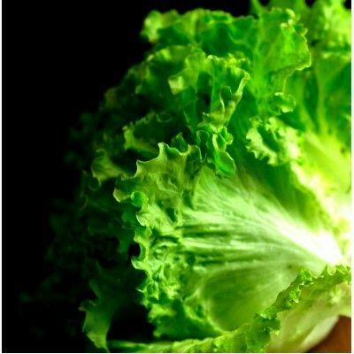 Lechuga De Batavia Otoño Vegetables Cabbage Lettuce