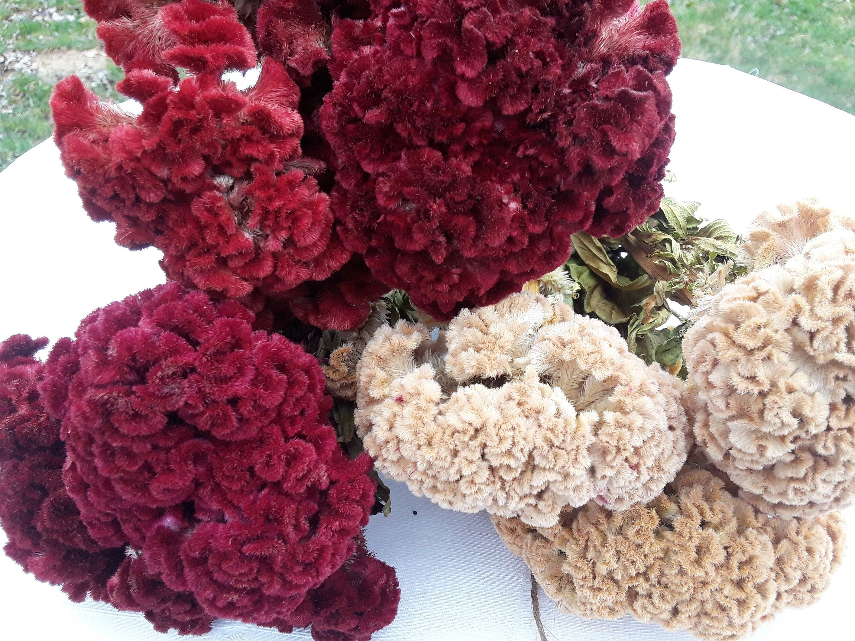 3 Dried Celosia Bouquets Https Etsy Me 3aqqyyn Red Yellow Driedcockscomb Driedcelosia Celosiabo In 2020 Dried Flower Bouquet Dried Flowers Dried Flowers Wedding