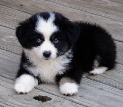 Australian Shepherd Smart Working Dog Cute Baby Animals Baby Animals Funny Cute Dogs