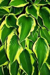 World Cup Hosta 4 5 Inch Container Hostas Plants For Shady Areas Shade Plants