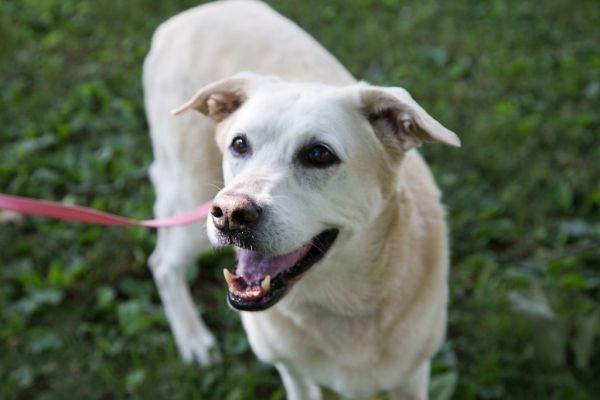 Adopt Monkey on Labrador retriever mix, Pitbull terrier