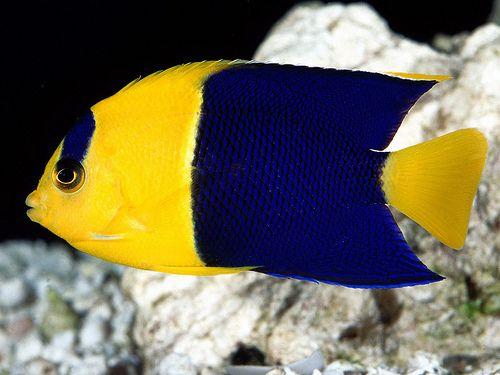 Bicolor Angelfish Fondo De Pantalla De Peces Animales Peces Peces De Colores