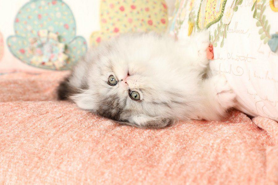 Persian Cat Gallery Persian Kittens For Sale Persian Kittens Kittens