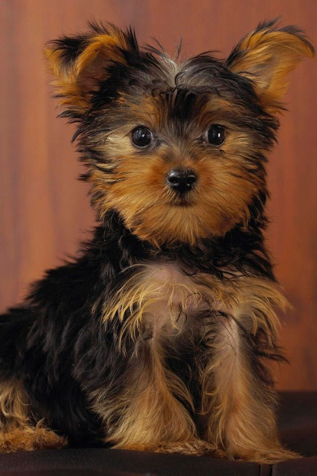 Light Brown And Dark Brown Adorable Dog Yorkie Dogs Yorkie Puppy Terrier Puppies