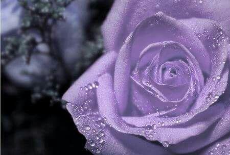 Pin By Azurez Walterz On Purple Purple Roses Purple Flowers Wallpaper Purple Roses Wallpaper