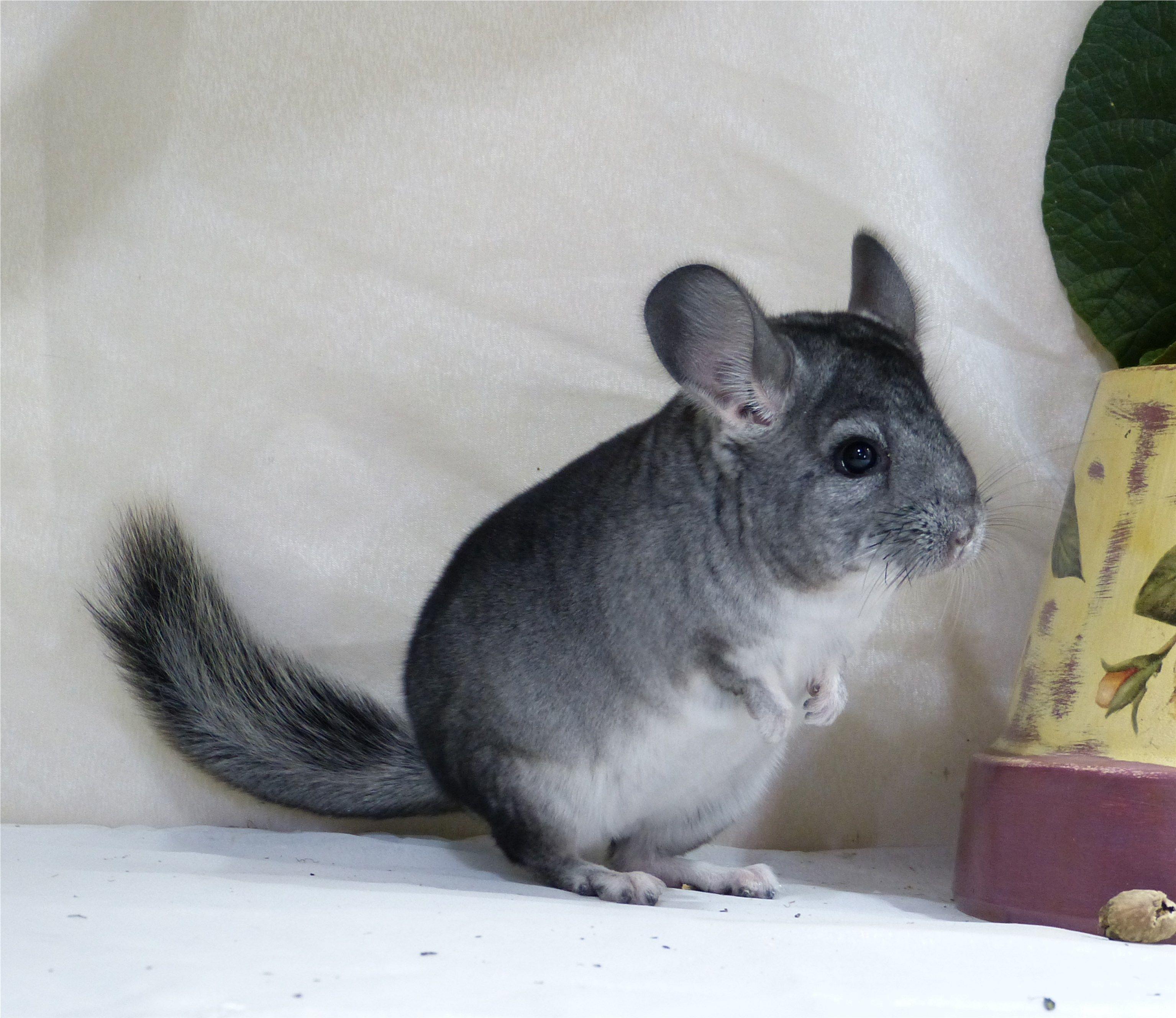 Standard Super Cute Animals Cute Animals Chinchilla