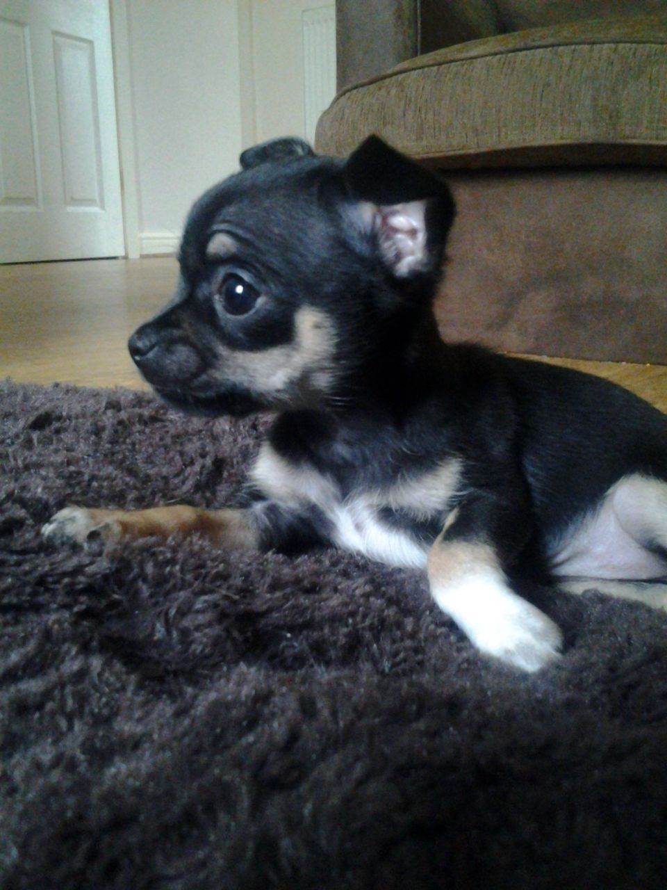 Black Teacup Chihuahua Puppies For Sale Teacup Chihuahua Puppies