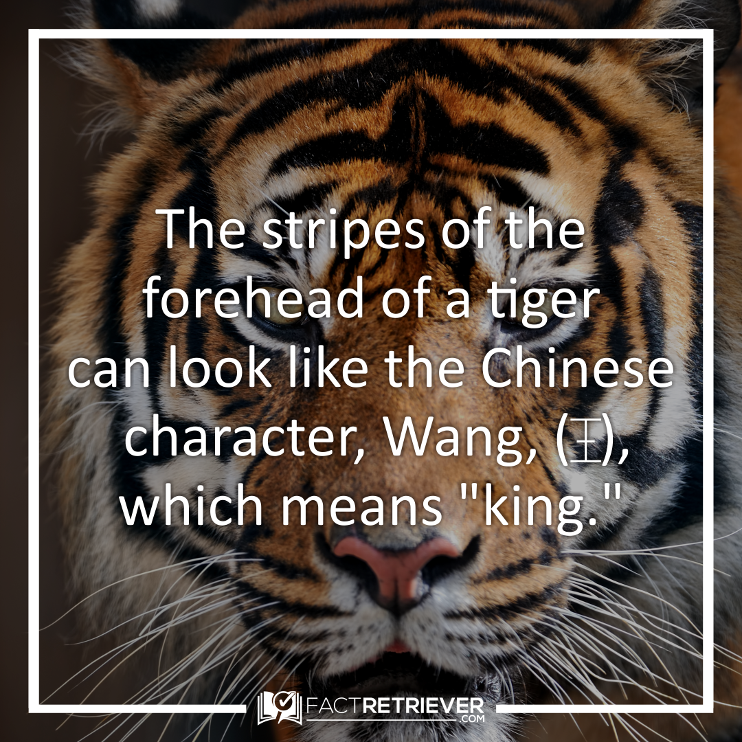 64 Magnificent Tiger Facts Fun Facts About Tigers Tiger Facts Fun Facts About Tigers Pet Tiger