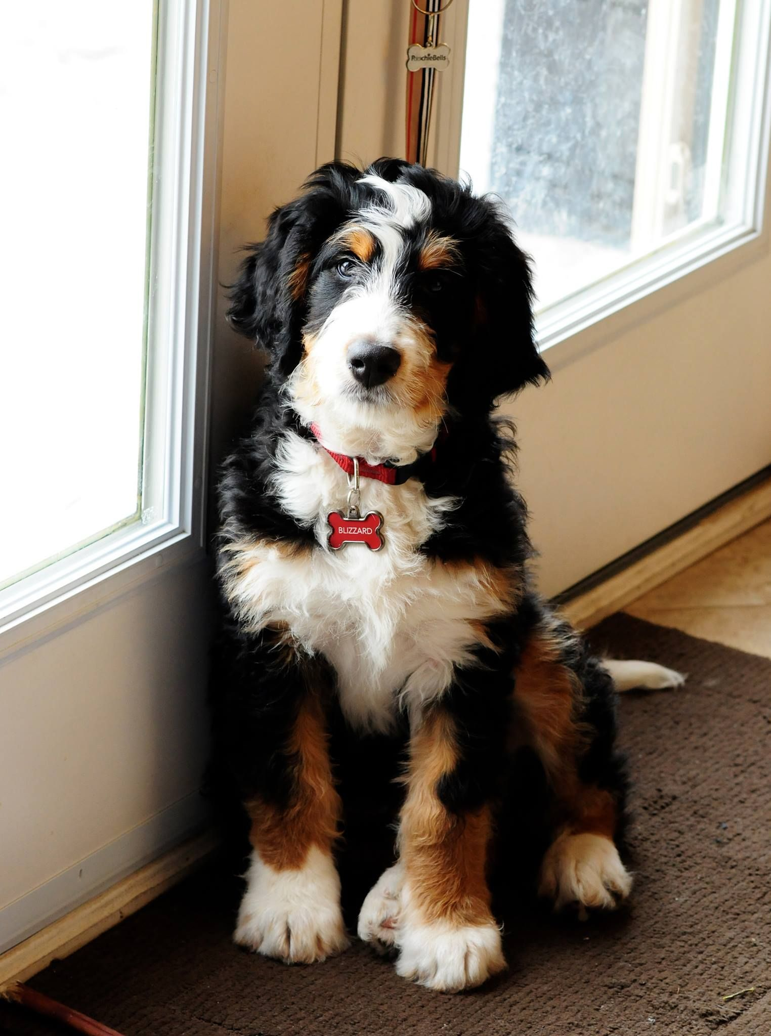 Its A Bernedoodle Thats A Bernese Mountain Dog And