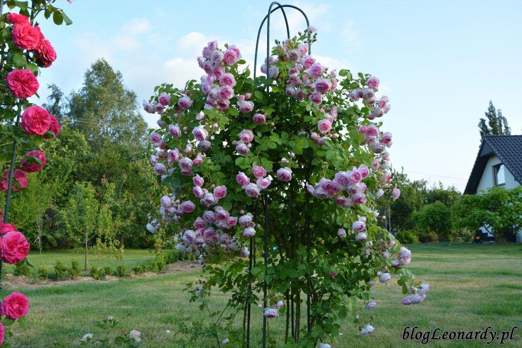 Jasmina Zjawiskowa Pieknosc Subtelna Roza Pnaca Plants Garden Plants Flowers