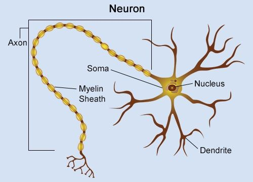 Cell specialization explained with examples labeled diagram of neuron ccuart Images