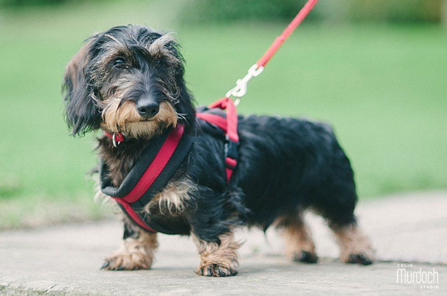 Archie Is 6 Months Old 6 Month Olds Wire Haired Dachshund 7