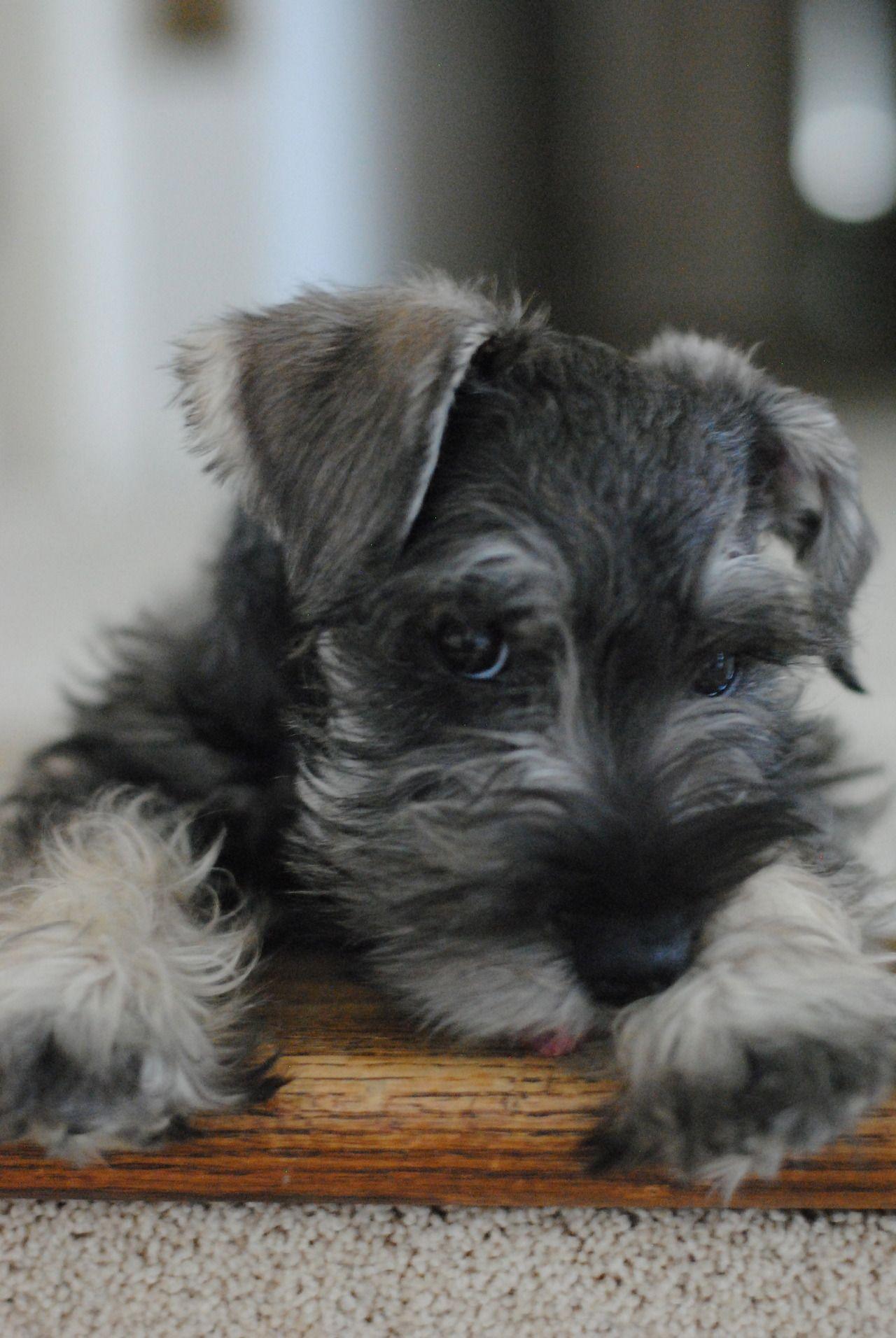 I Would Love A Schnauzer Puppy Es El Gemelo De Mi Bebe Bruno