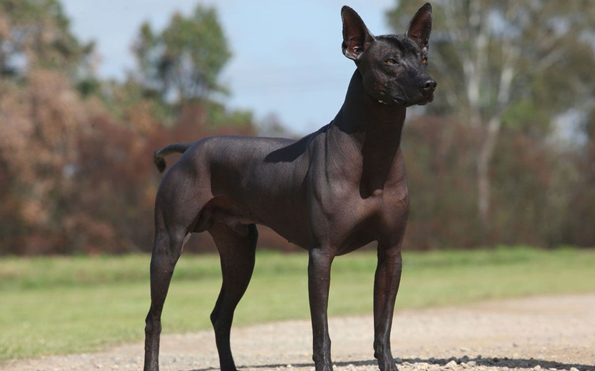 Mexican Hairless Dog Very Old Breed Abt 3000 Yrs Hairless Dog Mexican Hairless Dog Xoloitzcuintli