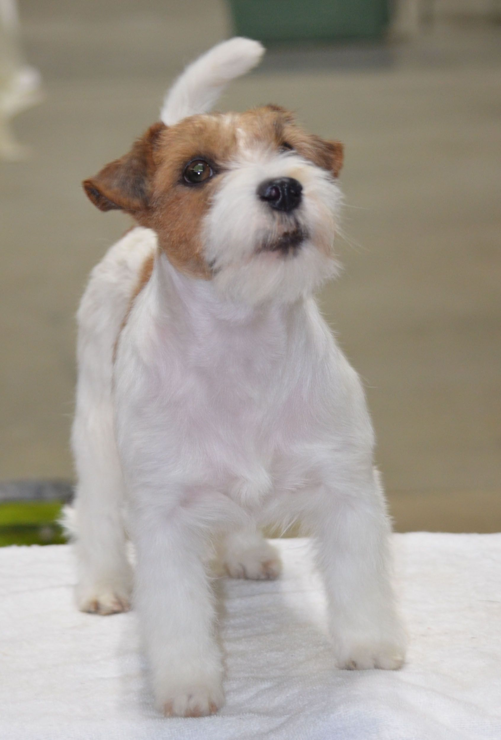 7 Exceptional Jack Russell Terrier A Dog In One Pack Ideas Dogs