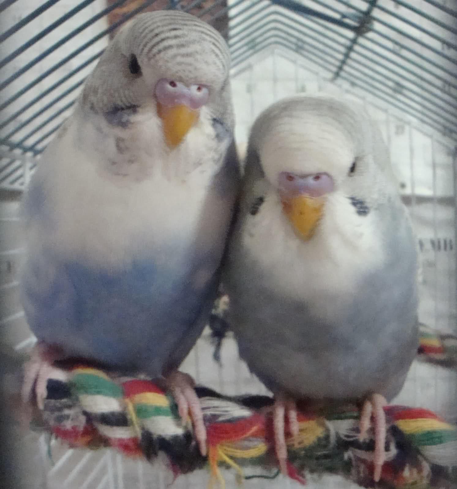 Our female parakeet Yasha start talking - YouTube