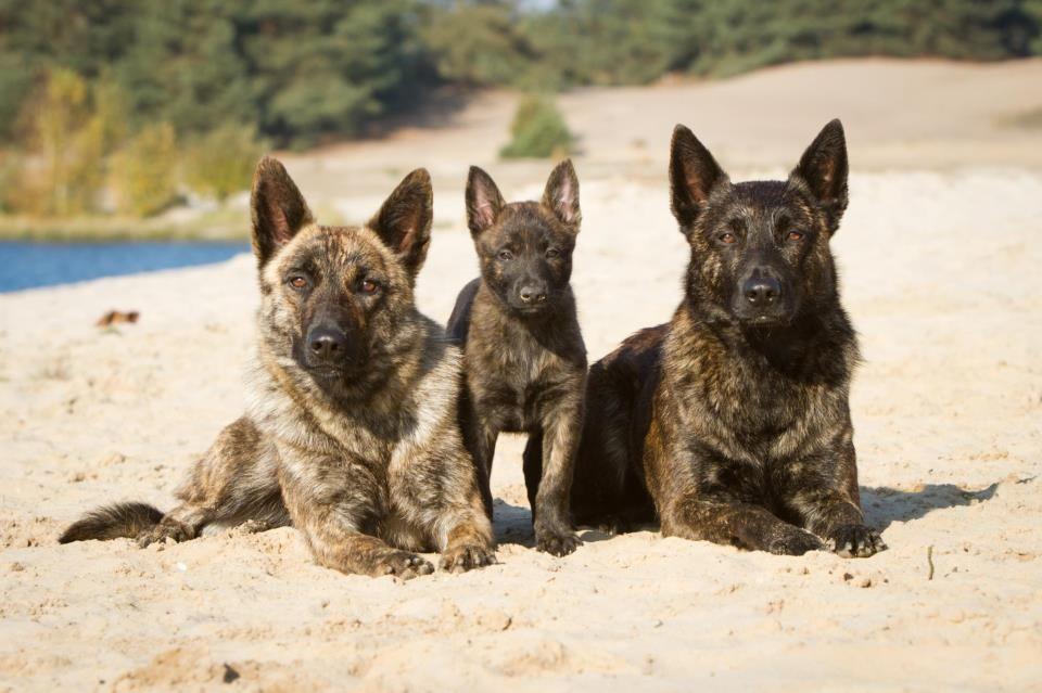 Hollandse Herders Hollandischer Schaferhund Schaferhunde Hunde
