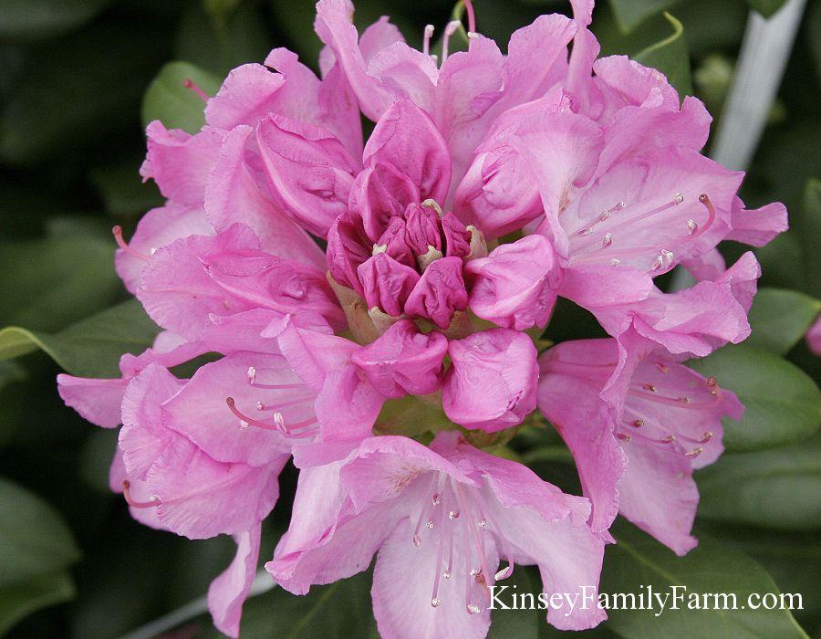 Rhododendron Bush Garden Shrubs White Flowering Shrubs