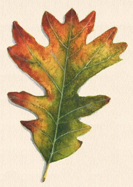 Fall Oak Leaf Art Print Of Watercolor Painting By Saylorwolfworks