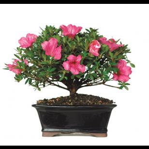 Garden Tools Garden Accessories Bonsai Bonsai Trees For Sale Indoor Bonsai Tree Bonsai Tree