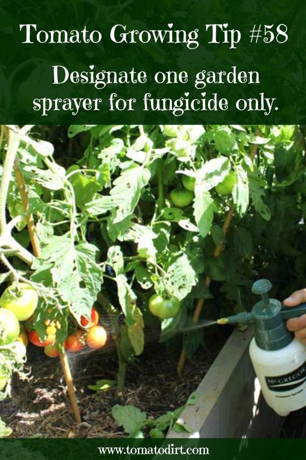 How To Choose And Apply Fungicide To Tomato Plants The 400 x 300