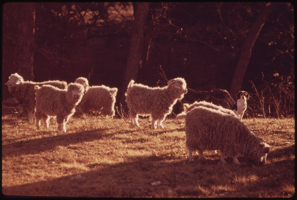 Original Caption: Angora Goats Guarded by a Watchdog on a Farm near Leakey Texas, and San Antonio, 12/1973  U.S. National Archives' Local Identifier:  412-DA-12483  Photographer:  St. Gil, Marc, 1924-1992  Subjects: Texas (United States) state Environmental Protection Agency Project DOCUMERICA  Persistent URL:  research.archives.gov/description/554935  For more information about DOCUMERICA photographs at the U.S. National Archives, visit…