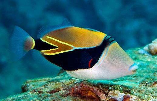 Reef Triggerfish Rhinecanthus Rectangulus Marine Fish Marine Fish Tanks Animals