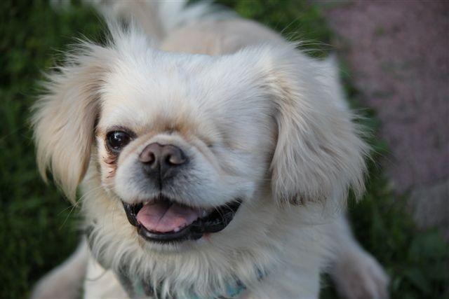 Adopt dickensADOPTED!! on Spaniel dog, Companion dog