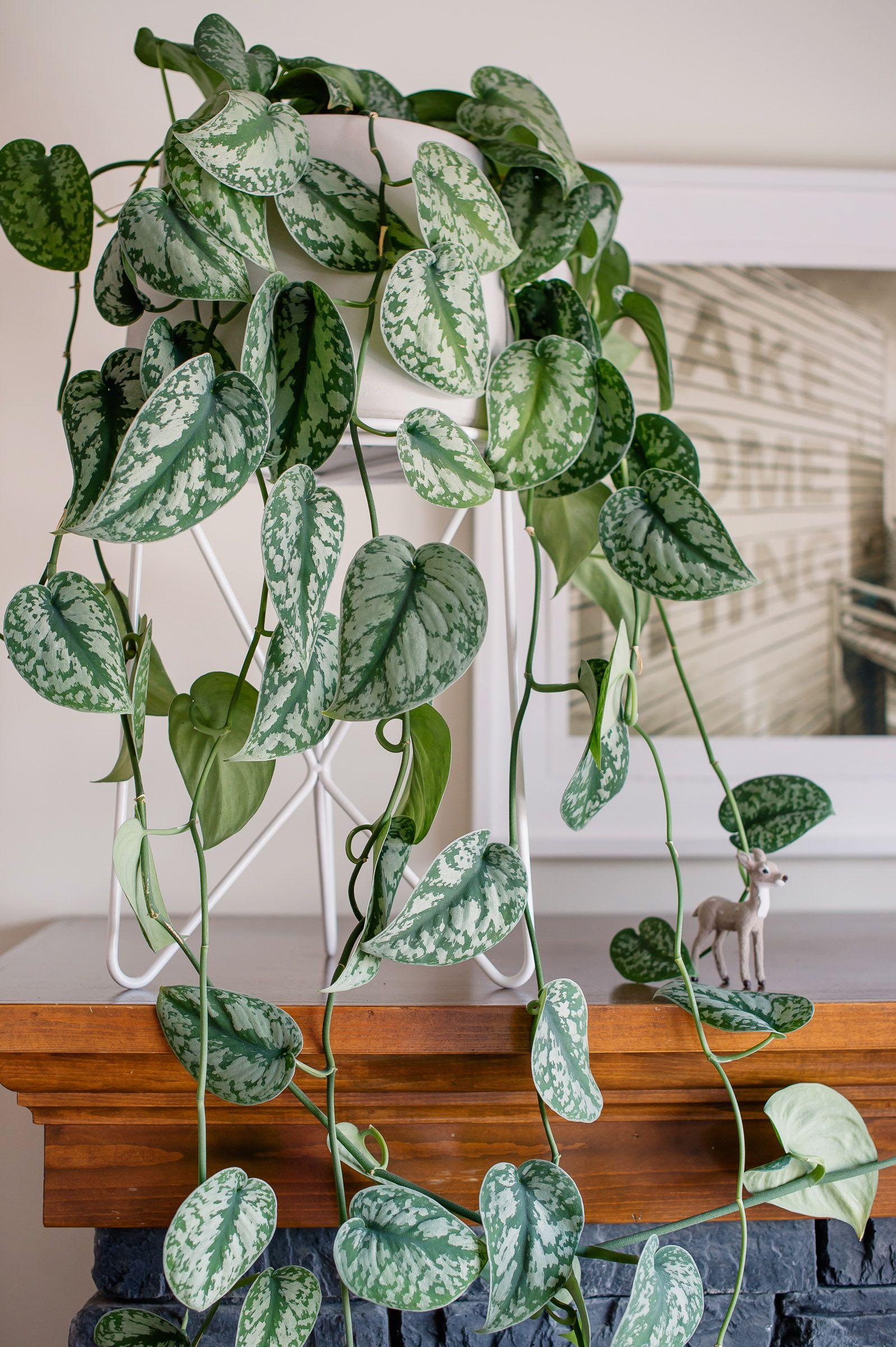 Satin or Silver Pothos #silverpothos #pothos #plants