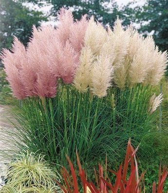 pampasgras kollektion cortaderia selloana wei rosa 5ltr topf gartenidea garten. Black Bedroom Furniture Sets. Home Design Ideas