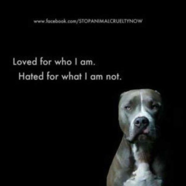 """The hatred of """"bully breeds"""" needs to stop. The only one responsible for the actions of their dog are the owner and how they raised their dog. All creatures (and ALL BREEDS) are capable of violence when they've been treated poorly all their lives. The prejudice against pits and other bully breeds absolutely infuriates me. Raise, train, and love your dogs properly, people!"""