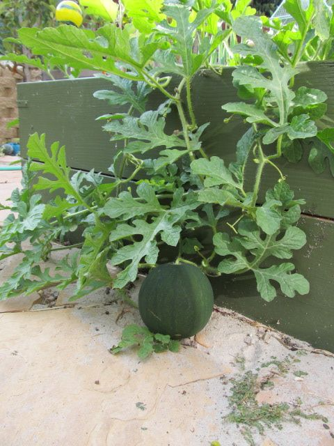 Sugar Baby Watermelon In Planters I Let It Flow Over To Add Space To My Garden Containers And Let It Grow In The Walkways