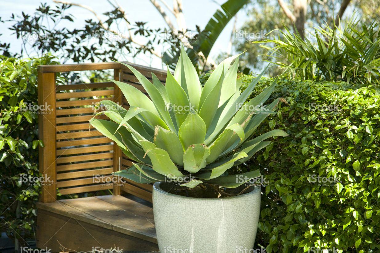 Agave attenuata in a white garden pot