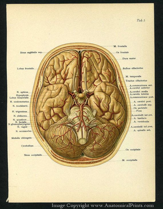 1905 Human Anatomy Antique Prints of the Brain and Skull | Brain ...